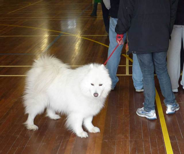 Samoyed in the assembly hall at Melrose High on Election Day 2010