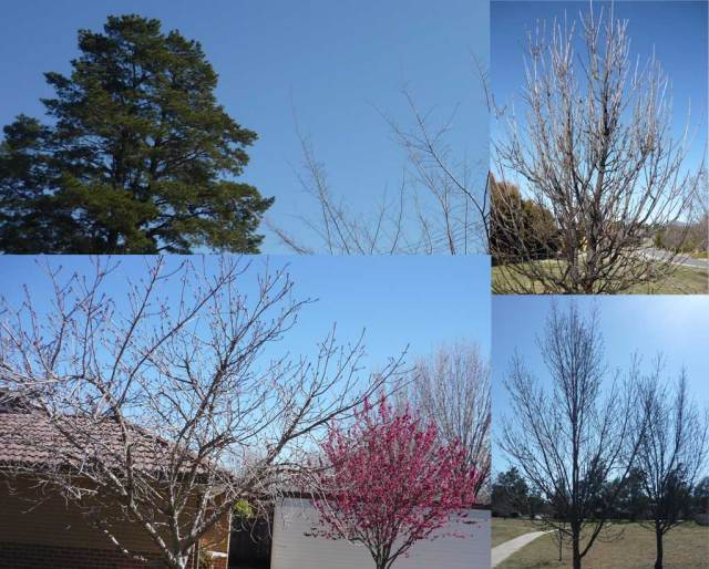 Monash trees, mostly still leafless but with buds showing