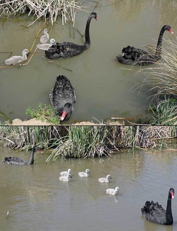 Top: Swan pair, nearly full-grown swan, two cygnets. Under: pair with all five cygnets
