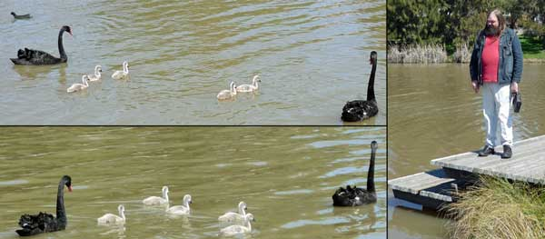 LHS: two pix of a pair of swans with 5 cygnets; RHS: Dac looking at them