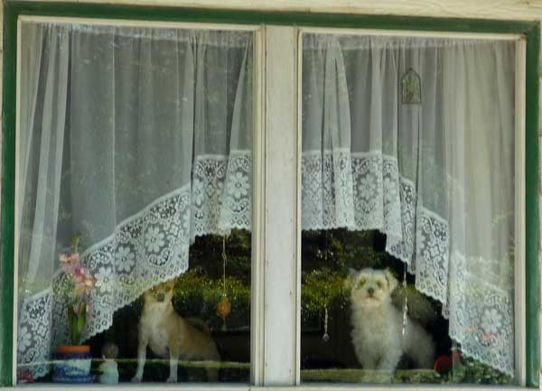 Two small dogs inside a front window