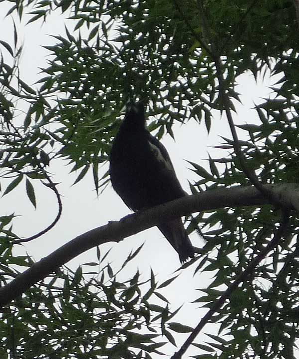 Magpie sitting in a tree