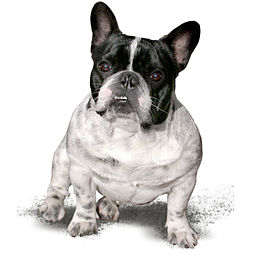 French bulldog from Wikimedia Commons
