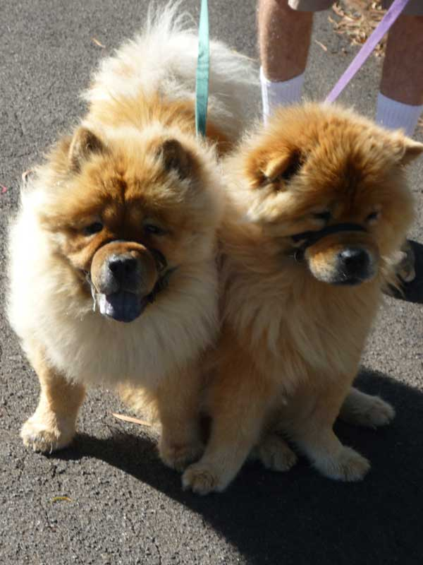 Two chows