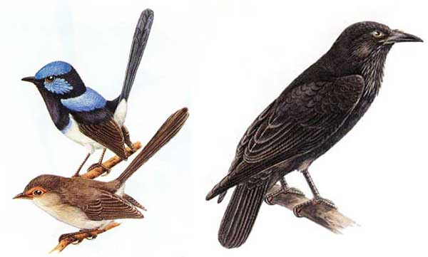 Superb fairy wrens (male and female); Australian raven