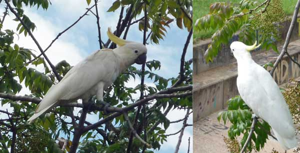 Two pictures of cockatoos nibbling a tree at Woden Town Park