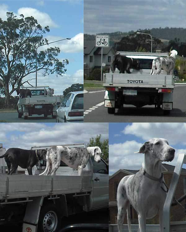 Four photos, gradually getting closer, of a ute carrying two Great Danes (one black, one white)