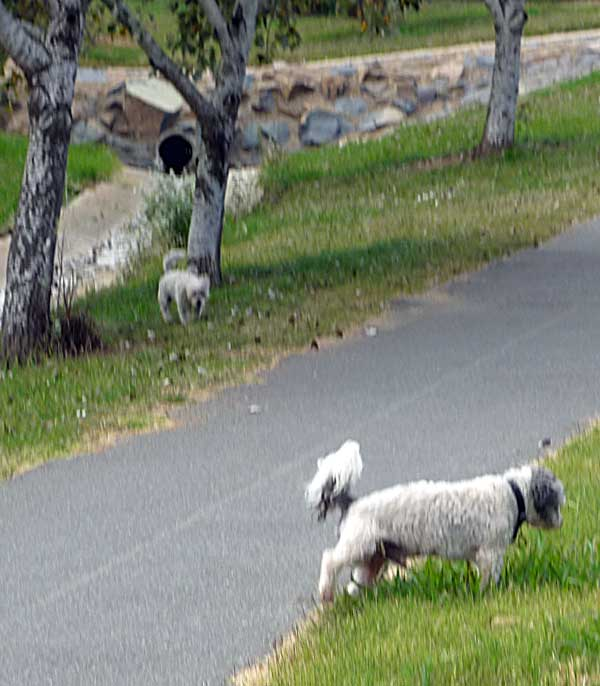 Two Maltese-Shih Tzu crosses who had escaped from their home
