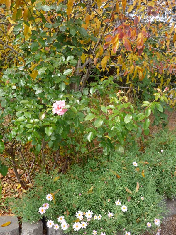 Rosebush with one pink rose