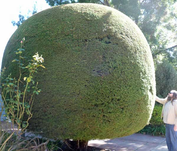 A large, circular tree