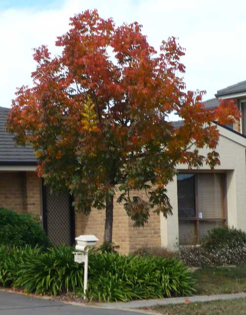 Red-leaved tree outside a suburban house