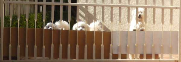 Three little white dogs behind a gaol-like fence