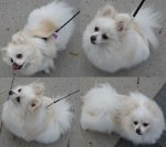 Four shots of a little fluffy white dog
